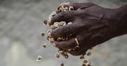 semente de moringa